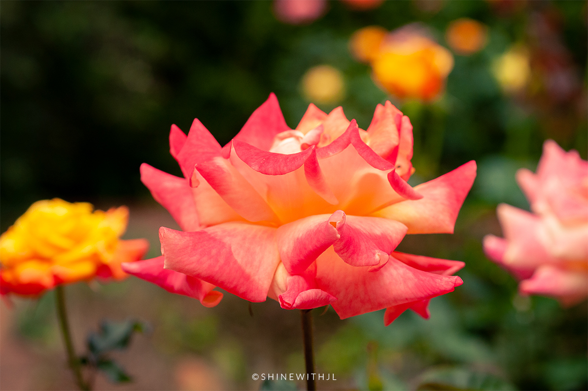 colorful roses photography at Duke Mansion Charlotte NC