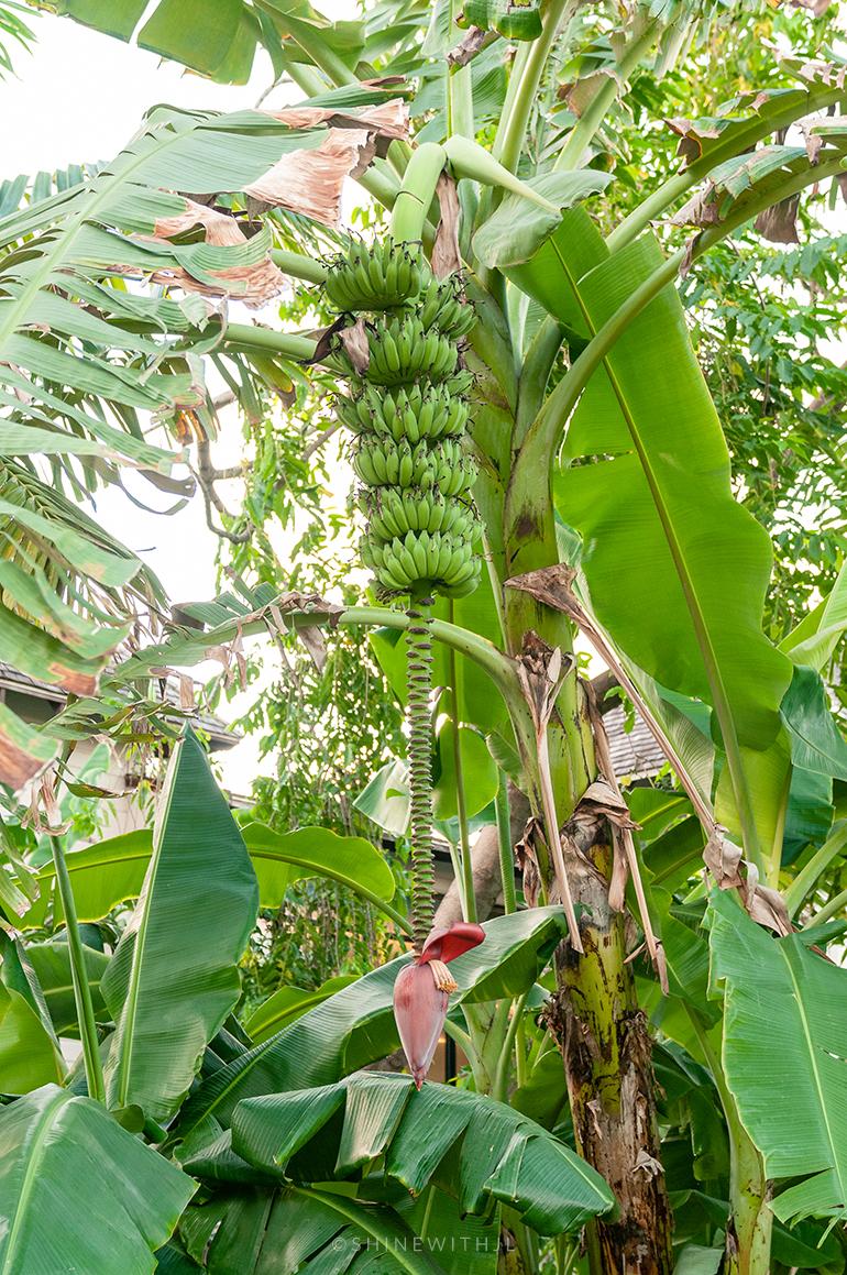 bananas growing at sandals grenada resort
