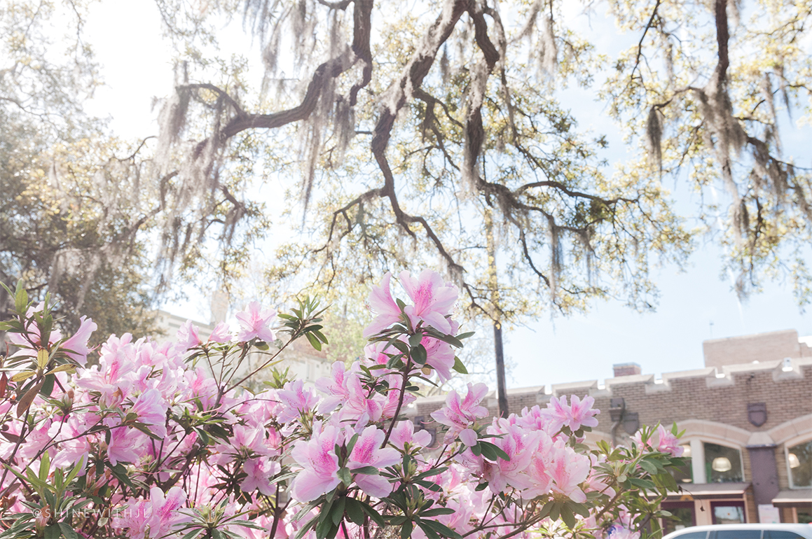 pink azaleas by brighter day natural foods savannah