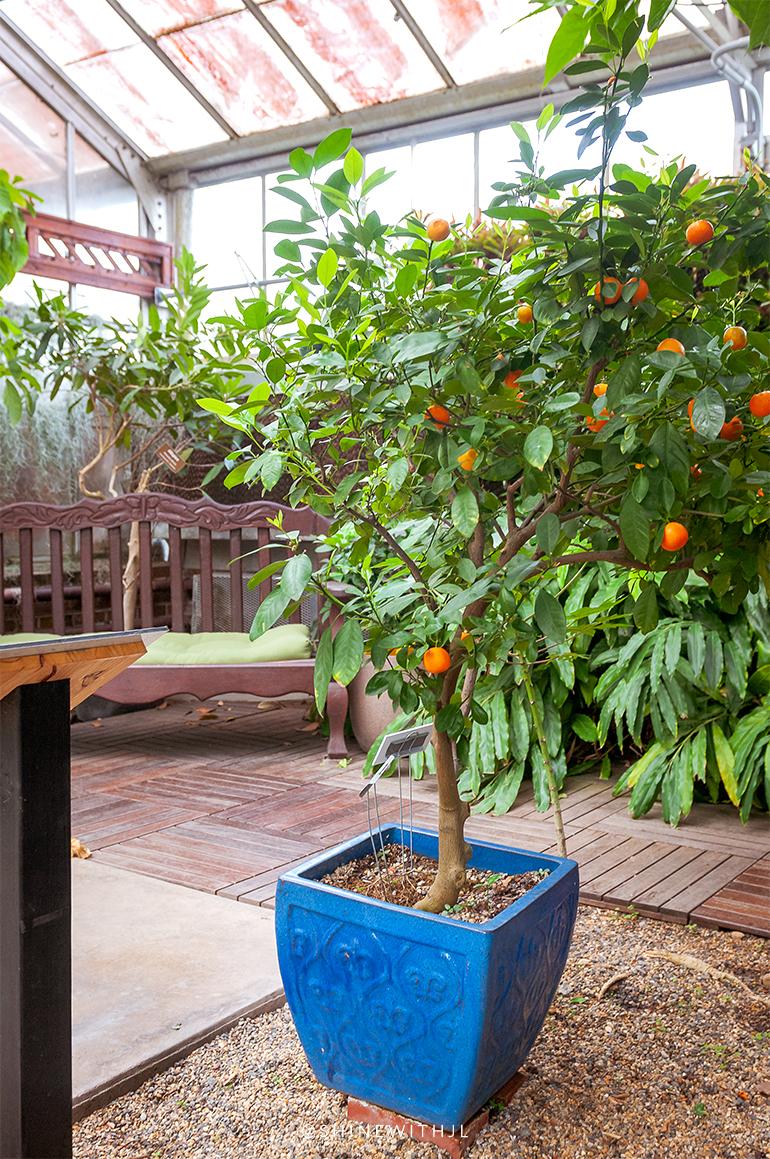 orange tree in blue pot