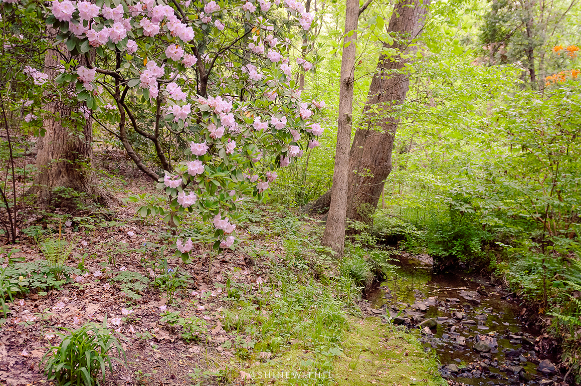 rhododendrons in bloom spring at charlotte botanical gardens