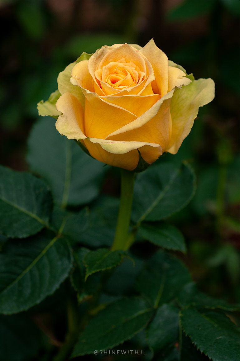 long stemmed yellow rose flower photography