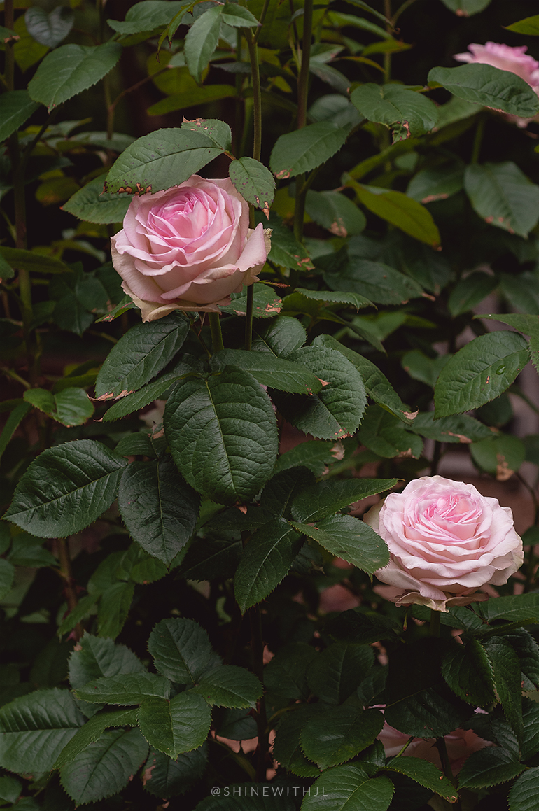 soft pink large roses flower photography