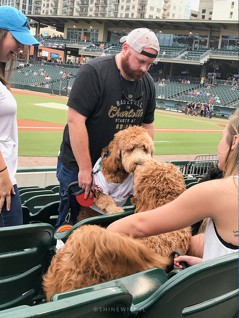 red f1 goldendoodles greeting charlotte knights bark in the ballpark