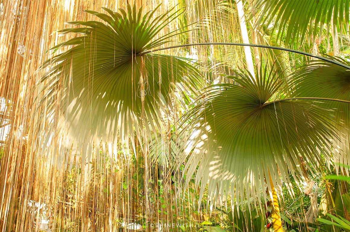 extra large palm fronds atlanta botanical gardens