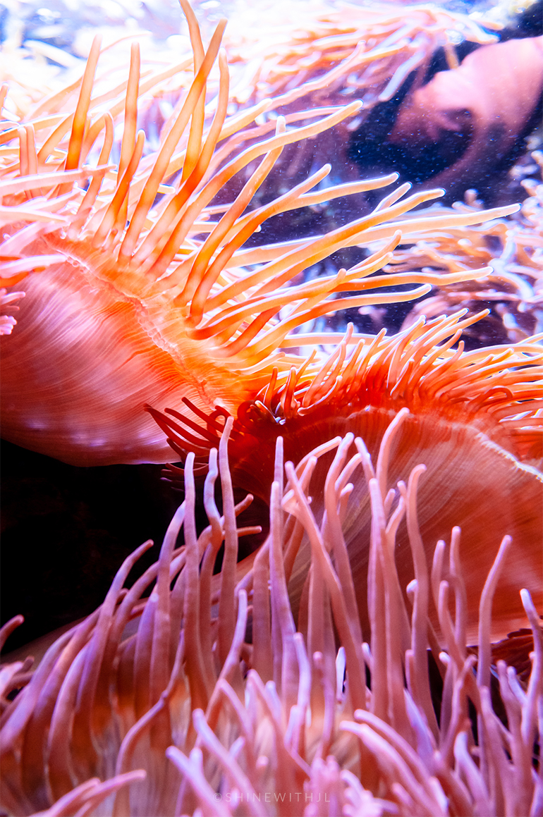 sea anemone at georgia aquarium atlanta