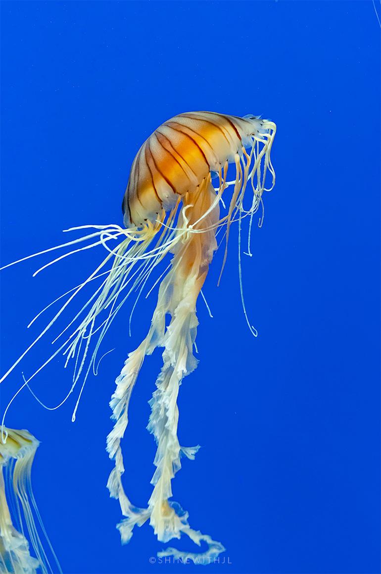 jellyfish with blue background georgia aquarium