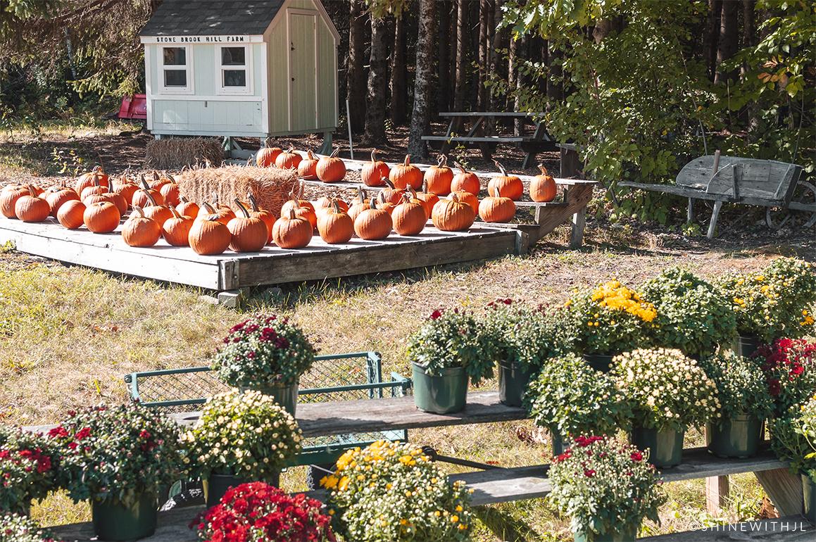 stone brook hill farm mums pumpkins for sale