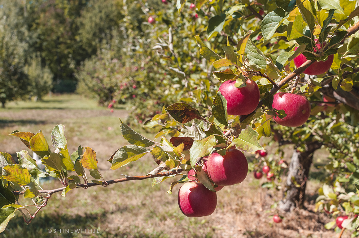 apple picking new hampshire shinewithjl