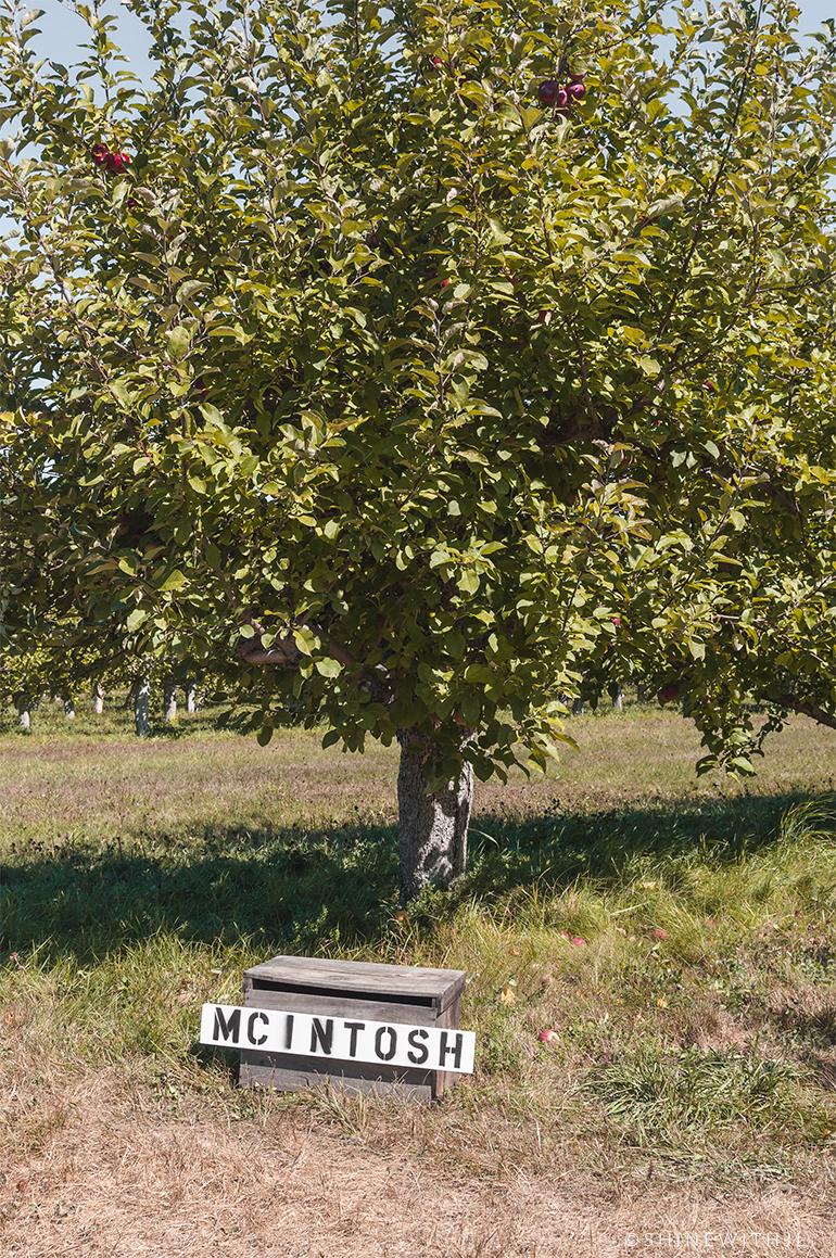 mcintosh apple tree new hampshire